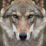 動物占いで狼と虎の相性は?