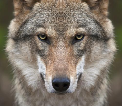 動物占い 相性 狼 虎