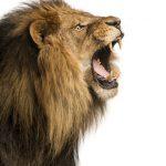 ライオンとたぬきの動物占いでの相性