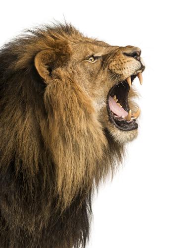 動物占い 相性 ライオン たぬき