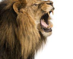 動物占い ライオン 男 恋愛