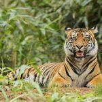 動物占いで相性診断!トラとライオンは恋愛に発展するの?
