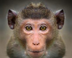 動物占い 猿 種類