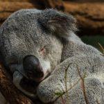 コアラの人の性格って悪いの?動物占い。