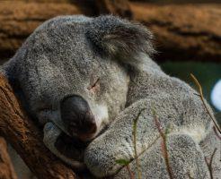 動物占い コアラ 性格悪い