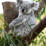 動物占いのコアラと黒ひょうの相性