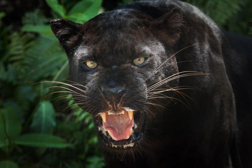 動物占い 相性 チーター 黒ヒョウ