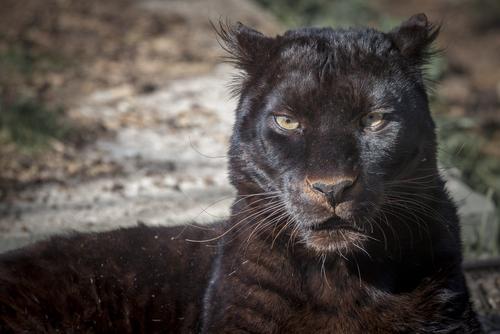 動物占い 相性 狼 黒豹