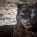 動物占い、黒ヒョウと猿の相性について。