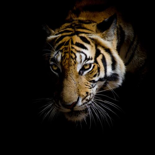 動物占い 虎 パープル
