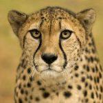 動物占い。チータと黒ヒョウの相性はどうなっている??