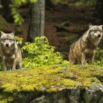 動物占いで狼と狼の相性は?