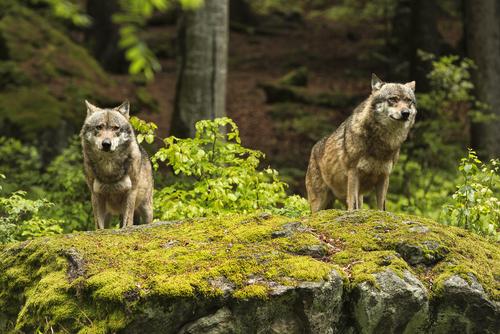 動物占い 相性 狼と狼