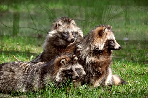動物占い ライオン たぬき