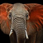 動物占いで分かるゾウの男性の性格や相性とは?
