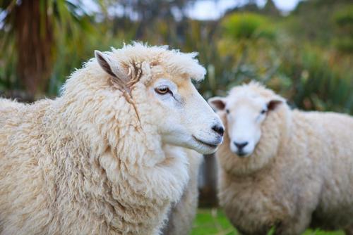 動物占い 相性 虎 羊
