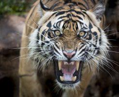 動物占い 虎 適職