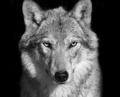 動物占い 狼 男 恋愛
