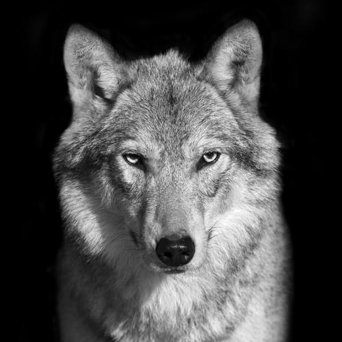 動物占い 狼 パープル