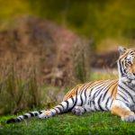 動物占いの相性は?トラとチーターの恋の行方
