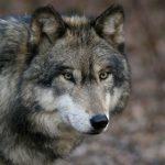 動物占いの狼と黒豹の相性