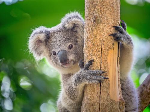 動物占い 相性 たぬき コアラ