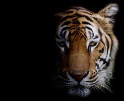 動物占い 虎 レッド