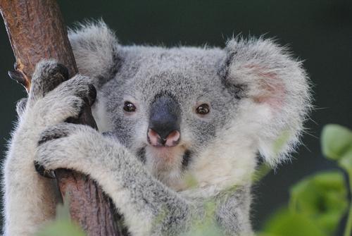 動物占い コアラ ひつじ 相性