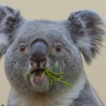 動物占い。コアラ男性の性格について