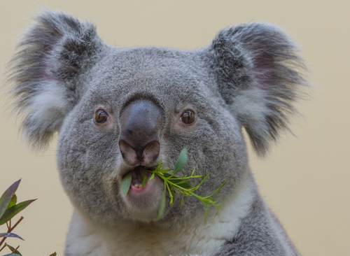 動物占い 相性 こじか コアラ
