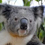 コアラと診断されたブルーの人について。動物占い