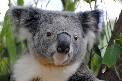 動物占い コアラ ブルー