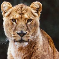 動物占い ライオン 女性 性格