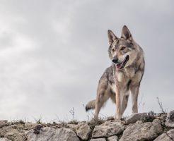 動物占い 狼 ブルー
