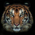 動物占いの相性は?虎とこじかは結婚には向かないって本当?