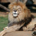 動物占い。ライオン「ゴールド色」の人の性格について