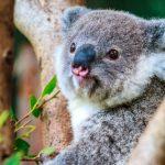 色別コアラの男性の特徴と性格、恋愛は?動物占い。