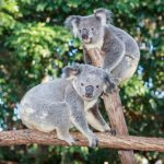 動物占いのコアラとコアラの相性