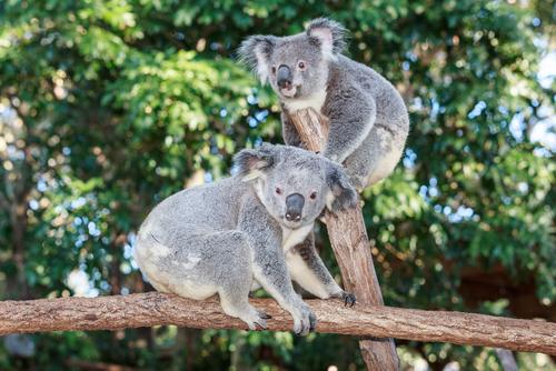 動物占い 相性 コアラ コアラ