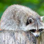 動物占い!たぬきと狼の相性について