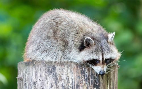 動物占い 相性 たぬき 狼