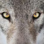人気の動物占いで性格診断!狼タイプはどんな人?
