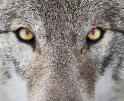 動物占い 狼 性格