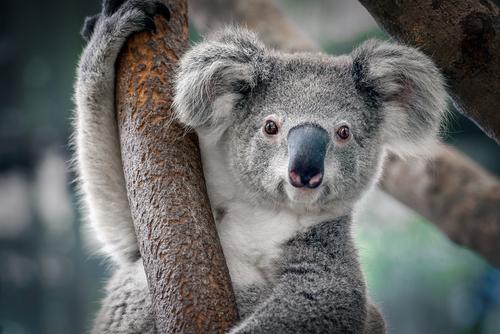 動物占い コアラ オオカミ 相性