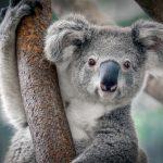 動物占い。コアラとゾウの相性は?良い?悪い?