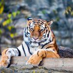 動物占い。トラ(ブルー色)の人について