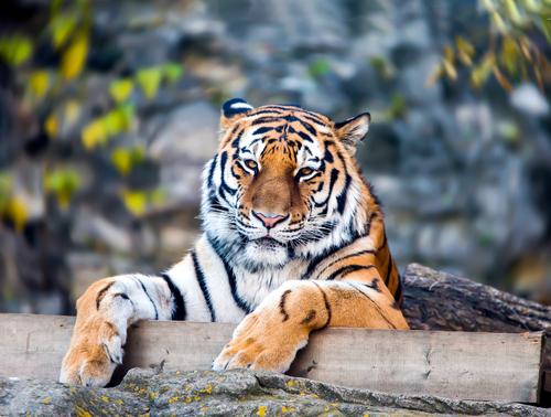 動物占い 相性 たぬき 虎