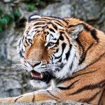 動物占いで恋愛傾向を知ろう!コアラから見た虎との相性って?