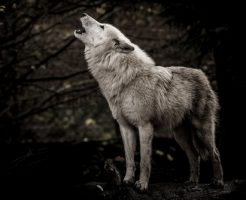 動物占い 相性 狼 こじか