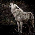 当たりすぎて怖いと噂の動物占い。狼×ブラウンの特徴は?